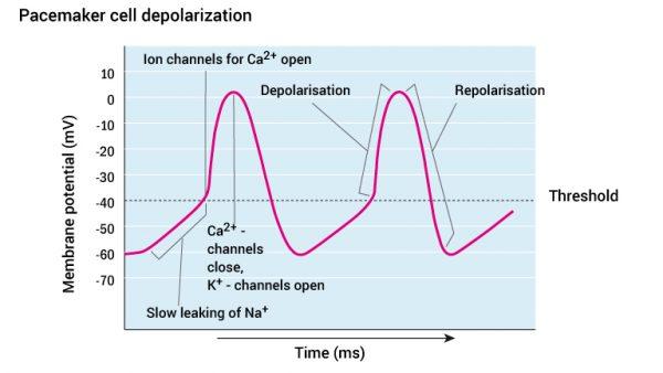 10_pacemakercellens-depolarisering_2016_engelsk