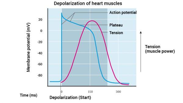 11_hjertemuskelens-depolarisering_2016_english