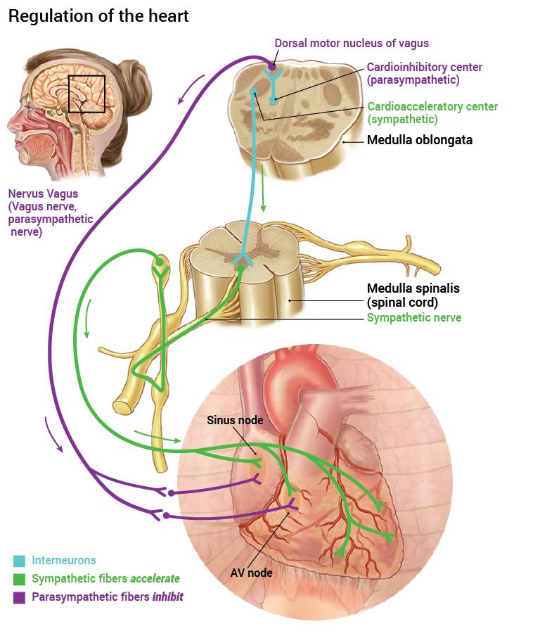 13_nervesystemets-regulering-av-hjertet_2016_engelsk