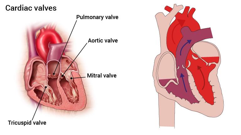 4_hjerteklaffer_engelsk