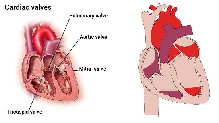 5_hjerteklaffer_engelsk